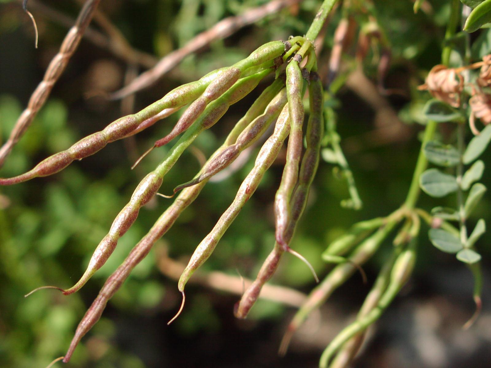 Вязель выращивание из семян фото 55