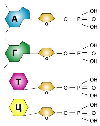 кислоты (нуклеотиды ДНК)