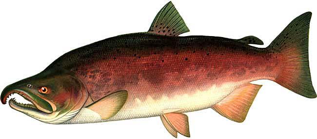 Тема: немного копчёной осетрины и дикий дальневосточный лосось