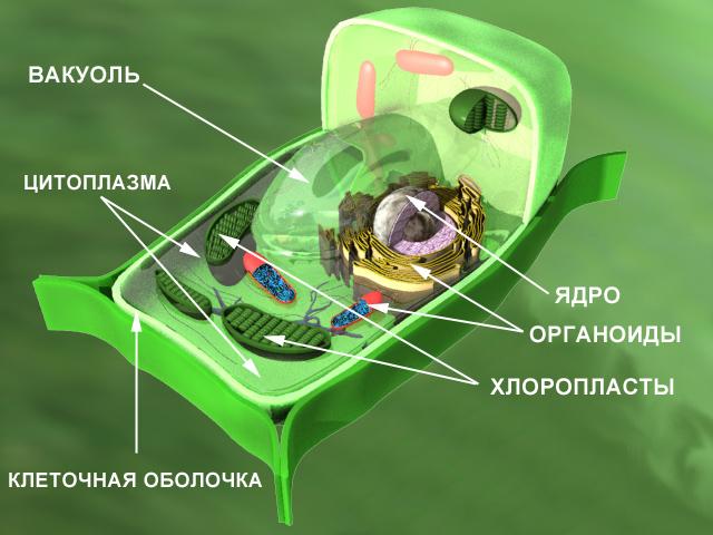 Клетка (схема строения