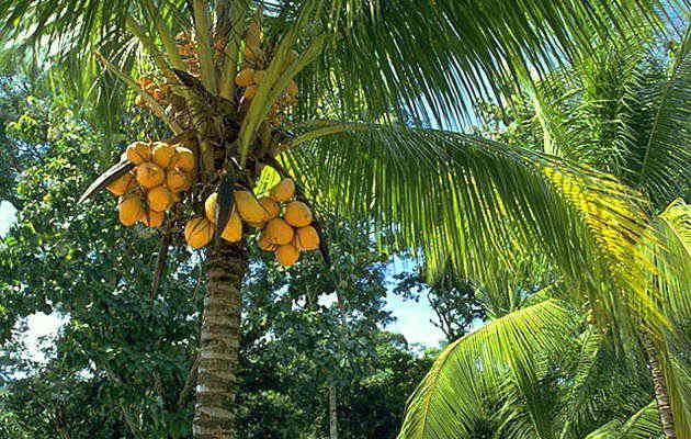 the coconut tree legend