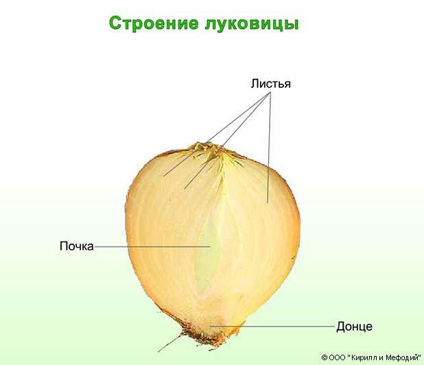 Луковица (строение, схема)