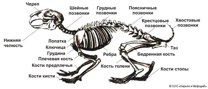 Все отделы позвоночника млекопитающих