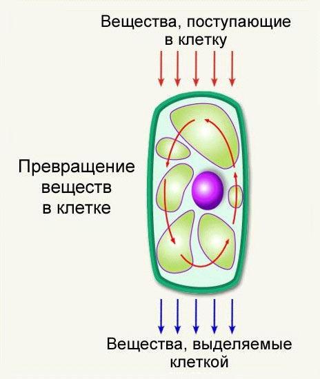 Схему обмена веществ в клетке 8 класс.