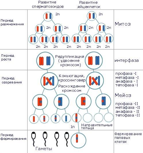 половых клеток животных)