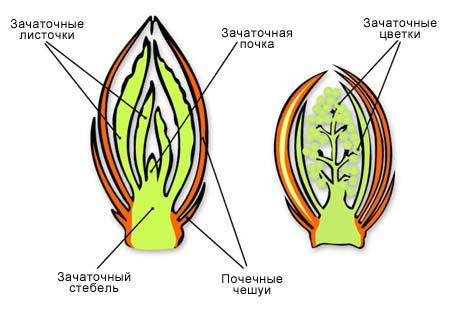 Почка (в ботанике)