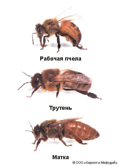 Пчелиная семья (схема)