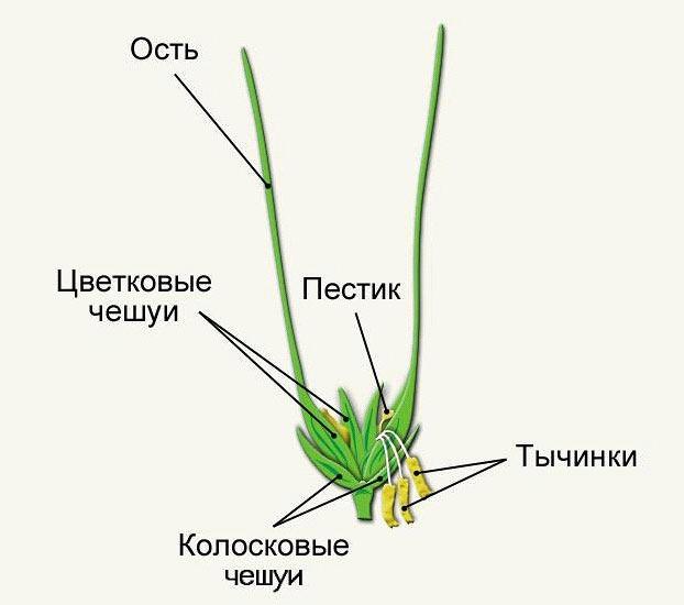 Строение колоса пшеницы.