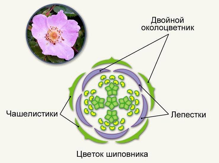 Розоцветные (строение цветка