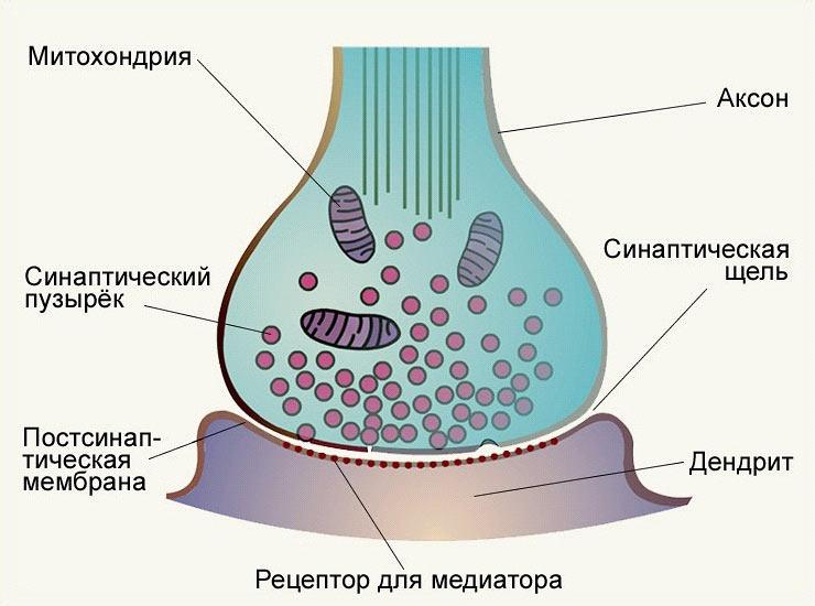 СИНАПС (строение, схема)