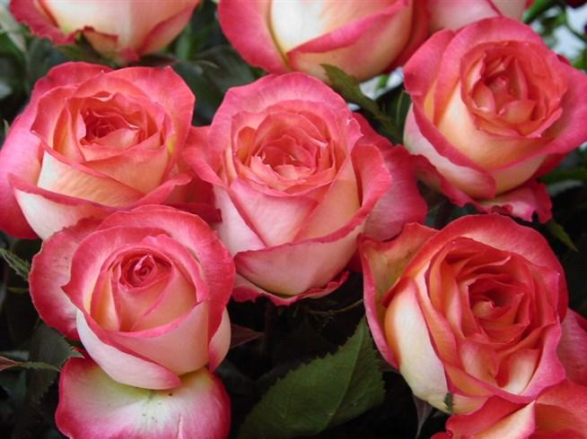 поговорим роза утро москвы фото и описание отзывы стильный интерьер создается