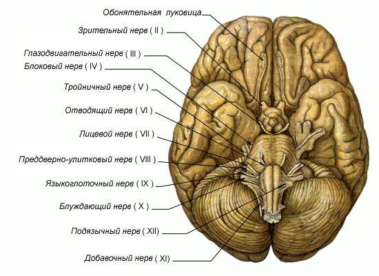 головного мозга человека и