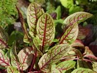 Щавель кроваво-красный – Rumex sanguineus L. — Мегаэнциклопедия ...