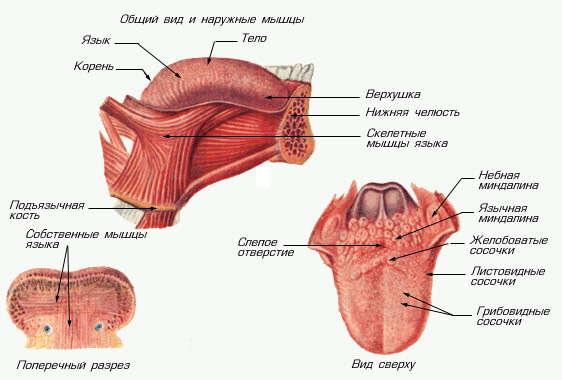 Язык (в анатомии). Схема