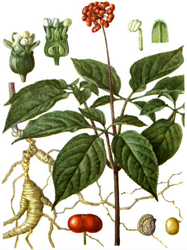 Обыкновенный женьшень panax ginseng