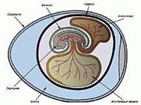 Строение зародыша пресмыкающихся
