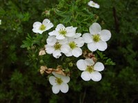 Abbottswood Silver [Род лапчатка – Potentilla L.]