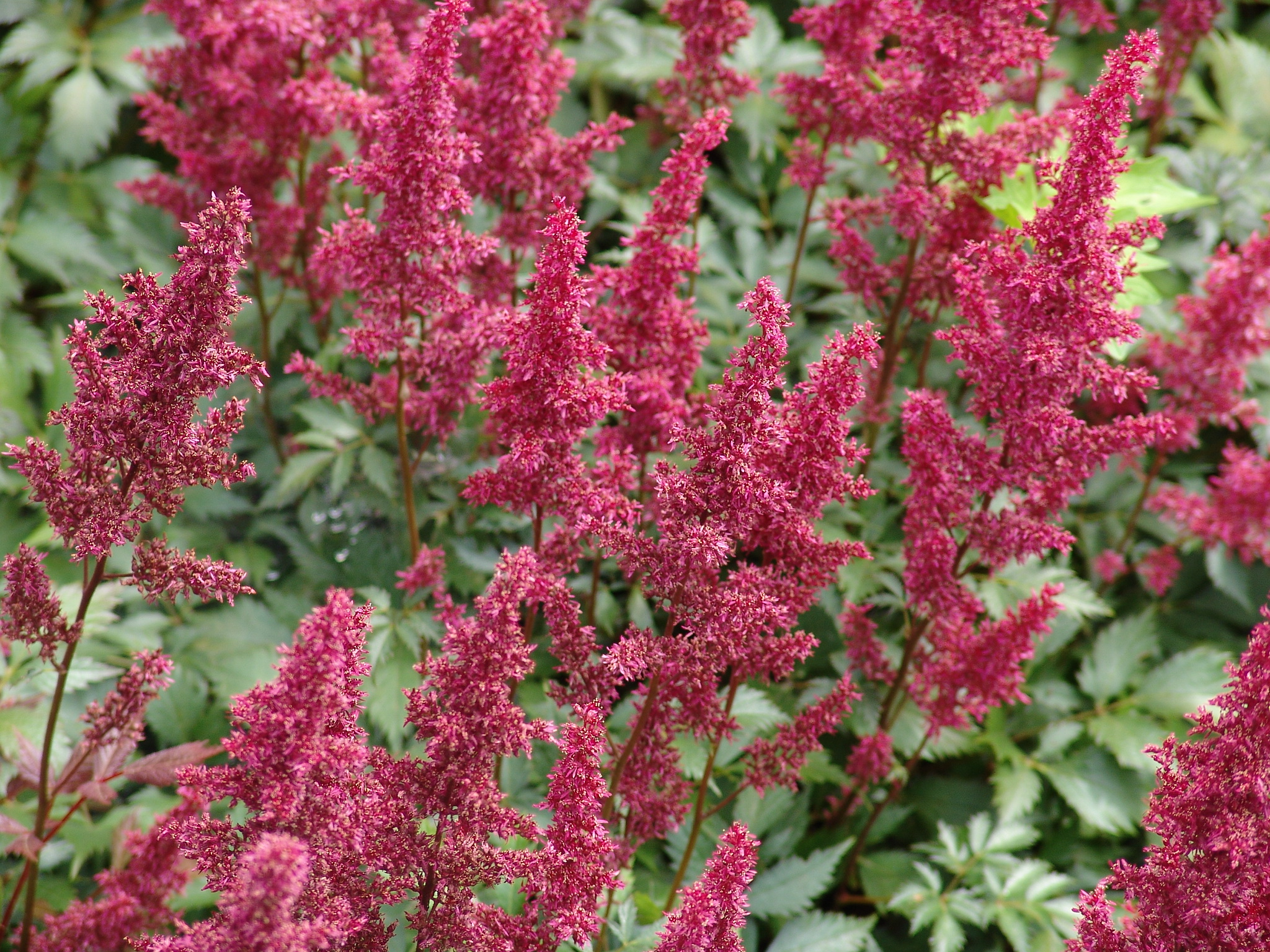 Fanal [Род астильба – Astilbe Buch.-Ham.]