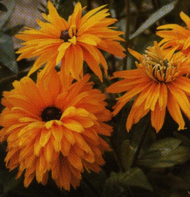 Gloriosa Double Daisy [Род рудбекия – Rudbeckia L.]