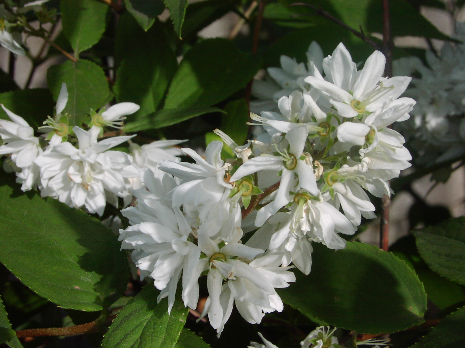 Superba [Род дейция – Deutzia Thunb.]